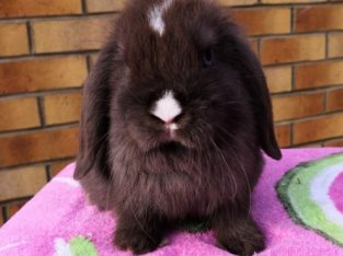 Beautiful Mini Lop Available Now