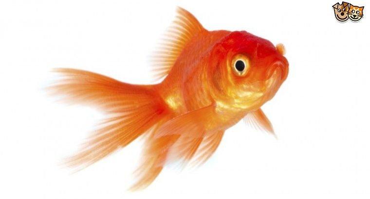 Rehoming Goldfish