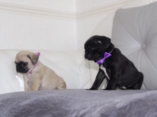 Adorable Pug puppies ready for sale