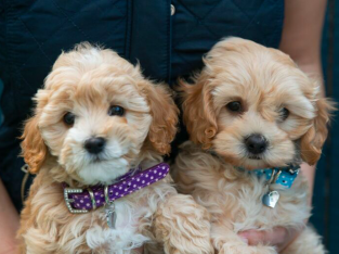 Toy hypoallergenic Puppies non shedding