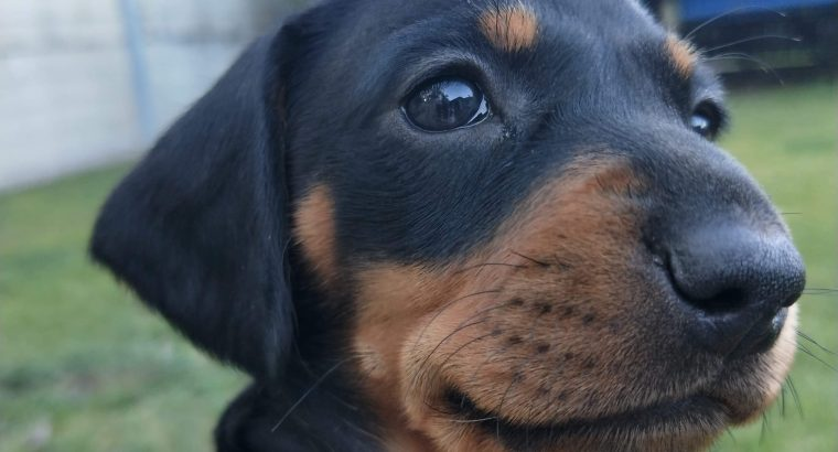 Black and Tan Smooth Mini Dachshund Puppies
