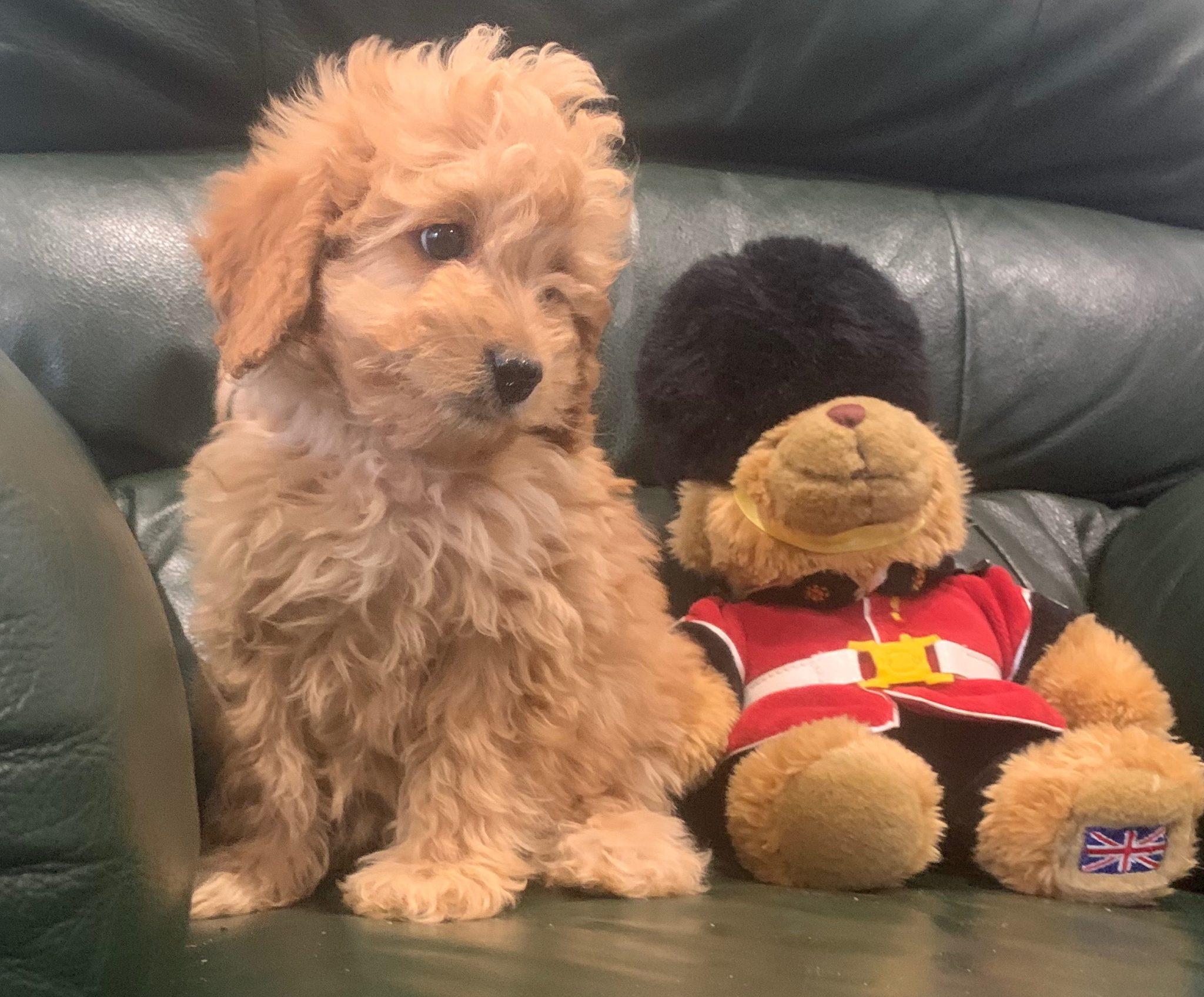 Stunning Cavoodle puppies