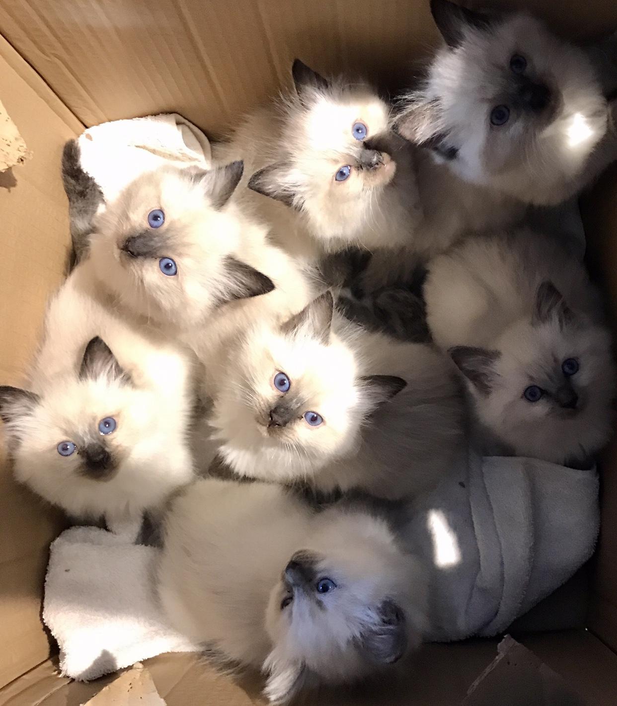 Smitten for Ragdoll Kittens