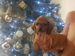 Male red smooth haired mini-dachshund looking for his furever home