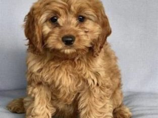 Wanted mini or toy cavoodle pup
