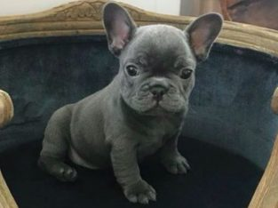 wanted french bulldog