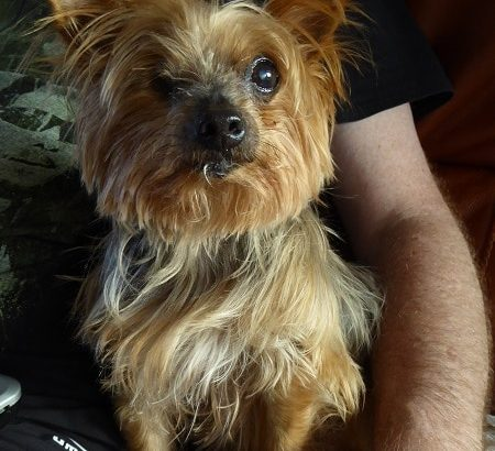 Dotty is a 12-year-old Yorkshire Terrier