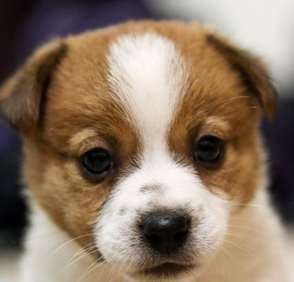 Pure Bred Jack Russell Pups