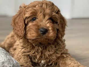 WANTED: Cavoodle Puppy