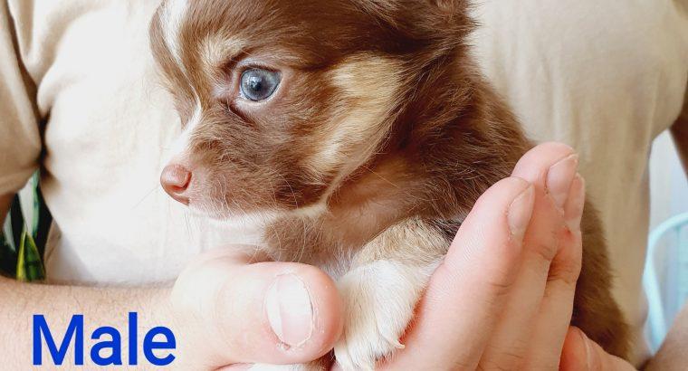 Chocolate Chihuahua tri colour male pup
