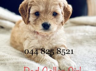 Adorable Cavoodles – DNA clear