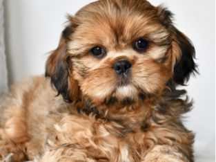 Shih Tzu X King Charles Cavalier puppies