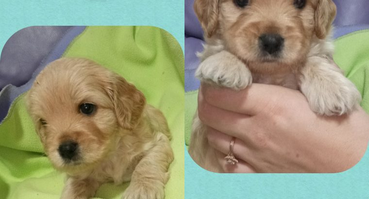 Cavoodle Puppies for sale (hypoallergenic)