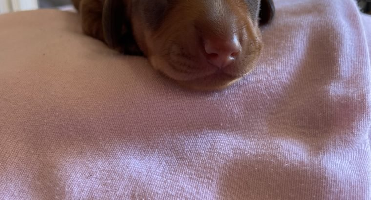 Purebred Miniature smooth haired Dachshund puppies