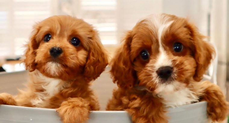 Toy Cavoodles – Toilet Trained & DNA Guarantee