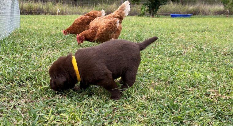 Pure Bred Chocolate Labrador puppies