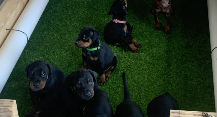 Pure breed Doberman puppies European and American
