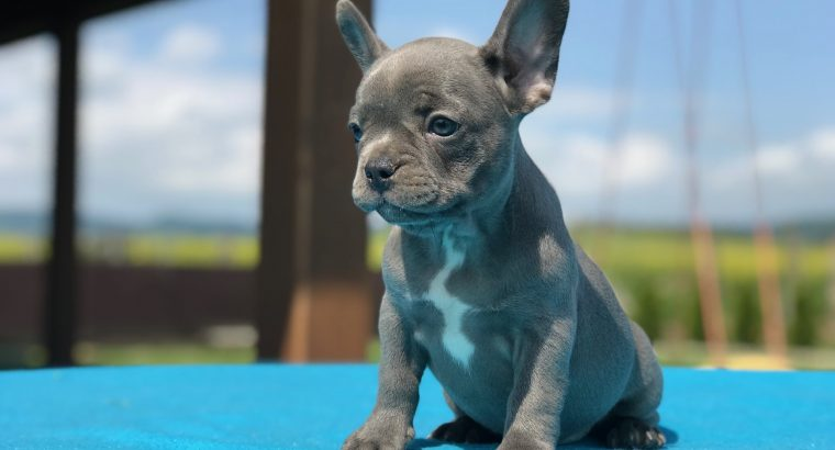 Beautiful French Bulldog puppies for sale