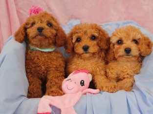 Toy Cavoodles – Toilet Trained & Health Guarantee
