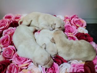 Gold and Black Female Labradors