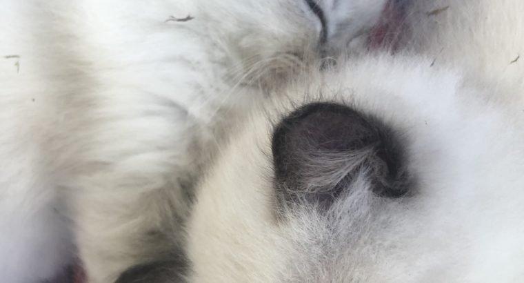 10 weeks old purebred ragdoll kittens