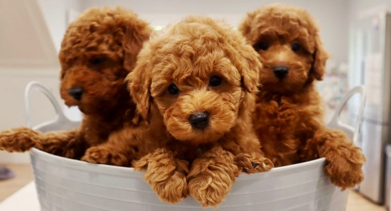Toy Cavoodles – Toilet Trained & DNA Guarantee!