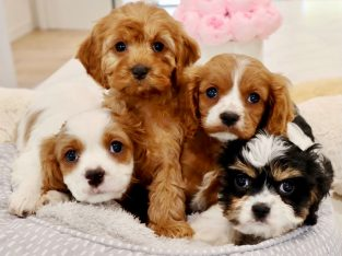 Toy Cavoodles – Toilet Trained and ready now!