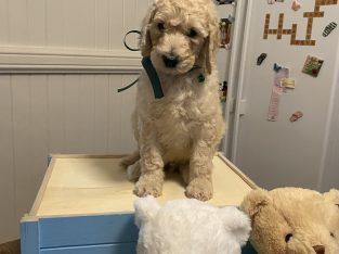 Purebred Standard Poodle Puppies