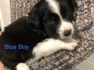 Purebred long haired border collie puppies