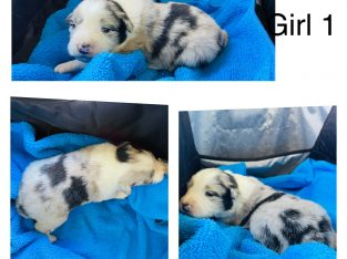 Pure breed Border collie pups for sale
